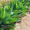 Agave Lime Candle Fragrance Oil