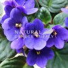 African Violet Candle Fragrance Oil