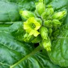 Bergamot Tobacco Candle Fragrance Oil